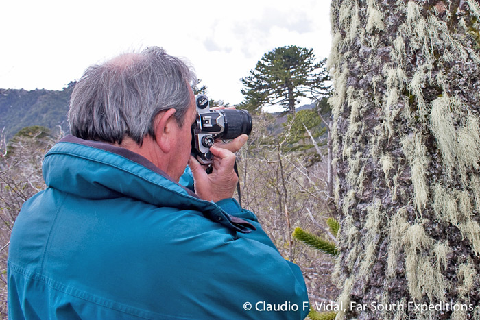 Studying and documenting the magnificent Araucaria trees (also known as Chilean Pines) at Conguillio National Park © Claudio F. Vidal, Far South Expeditions
