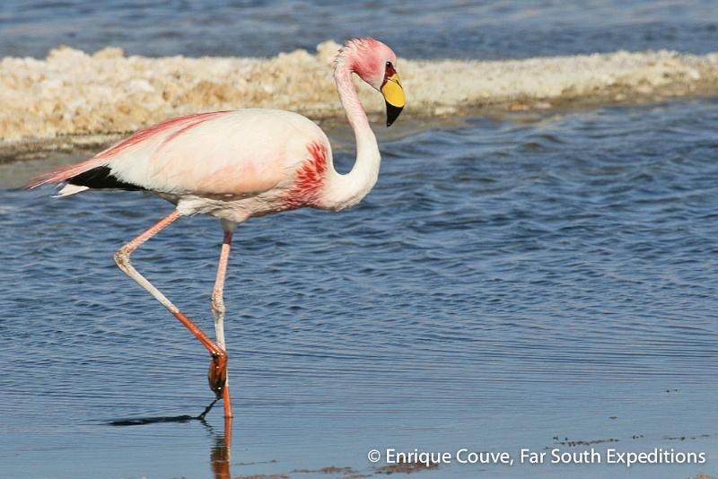 Puna or James' Flamingo,Phoenicoparrus jamesi© Enrique Couve, Far South Exp