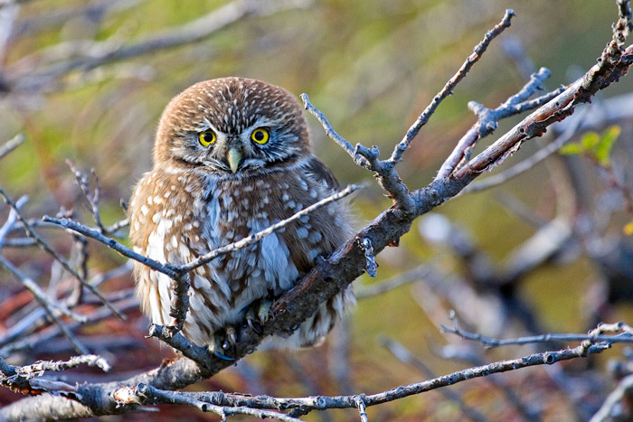 Austral Pygmy Owl, Glaucidiun nana © Far South Expeditions