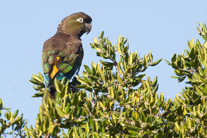 Burrowing Parrot, Cyanoliseus patagonus bloxami, is quite common around Colbun Lake © Far South Expeditions