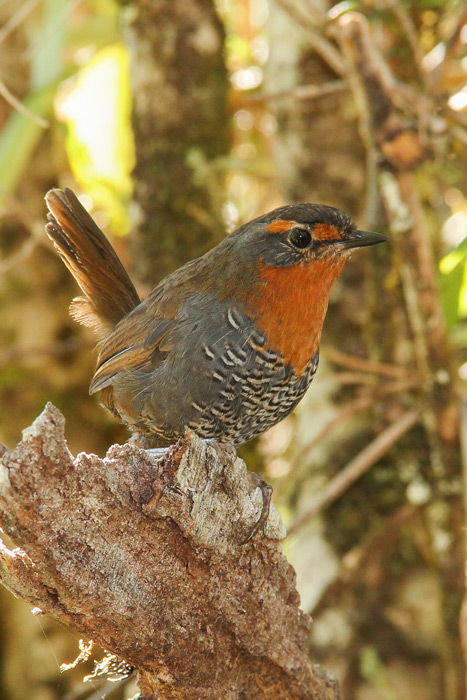 chucao-tapaculo-chile-1