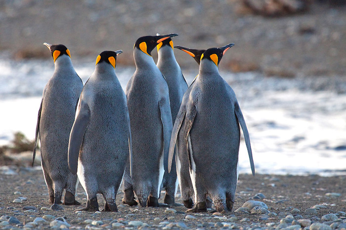 King Penguins, Aptenodytes patagonicus, Tierra del Fuego, Chile © Far South Expeditions