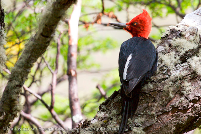 Magellanic Woodpecker, Campephilus magellanicus © Far South Expeditions