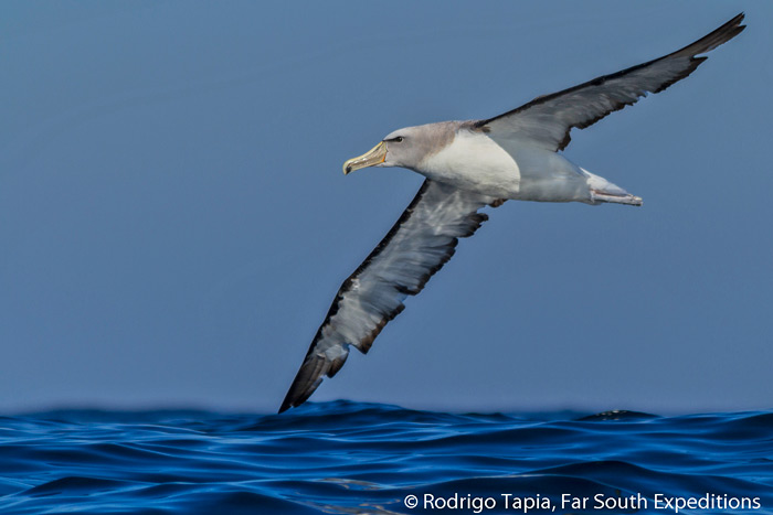 Salvin's Albatross, Thalassarche salvini, one of the commonest tubenoses off Chile © Rodrigo Tapia, Far South Exp