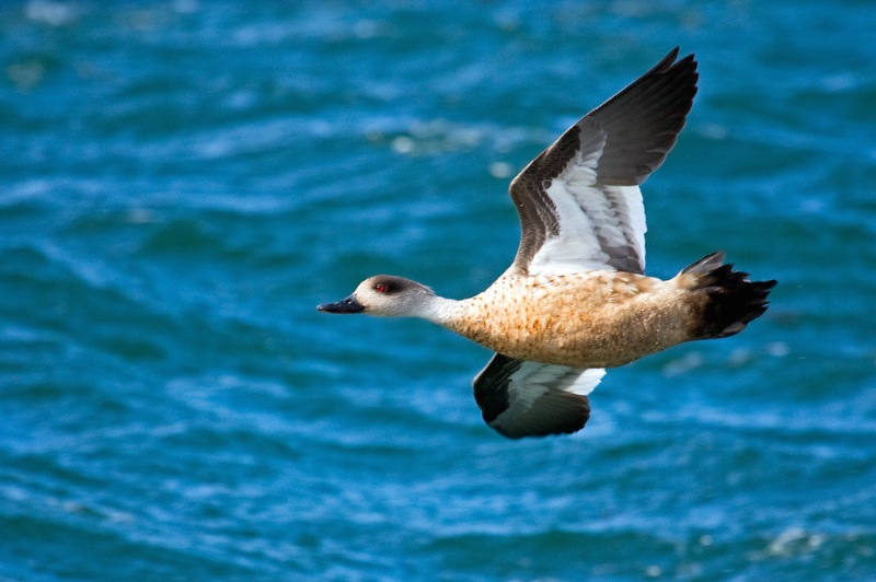 Crested Duck, Straits of Magellan, Chilean Patagonia © Claudio F. Vidal, Far South Expeditions