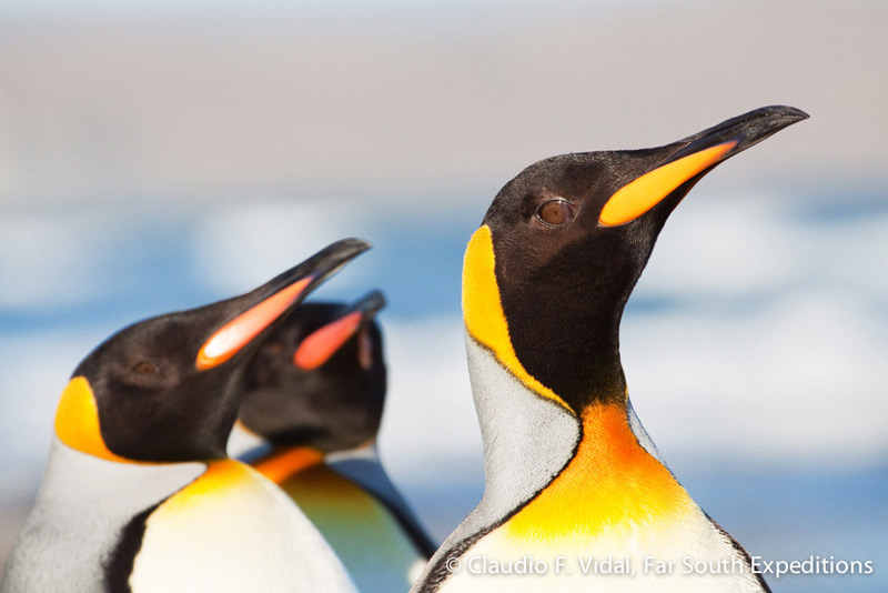 King Penguins, one of our key species in Tierra del Fuego © Claudio F. Vidal, Far South Expeditions