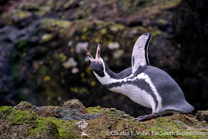 Humboldt Penguin, Spheniscus humboldti, Cachagua Island, central Chile © Claudio F. Vidal, Far South Exp