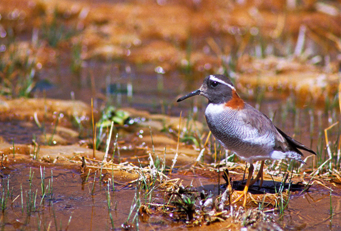 Diameded Sandpiper-Plover, one of the main targets of our trip to the Andes of central Chile © Enrique Couve, Far South Exp