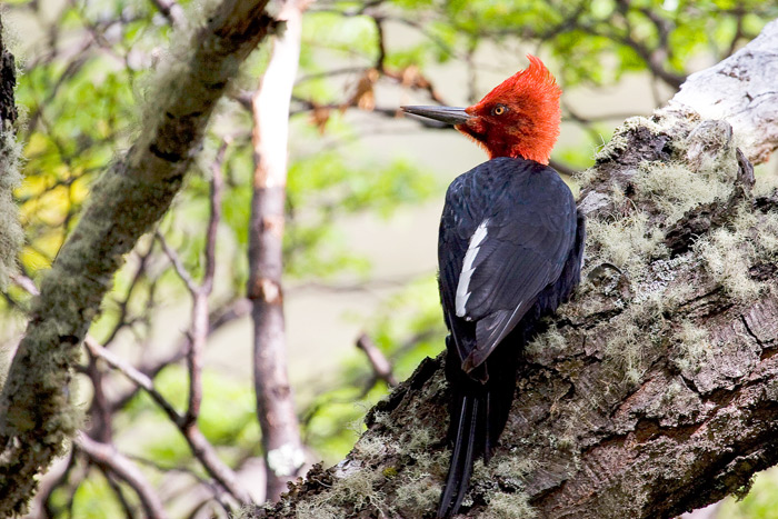 Magellanic Woodpecker, Campephilus magellanicus, one of the specialties of the Patagonian woodlands © Claudio F. Vidal, Far South Exp