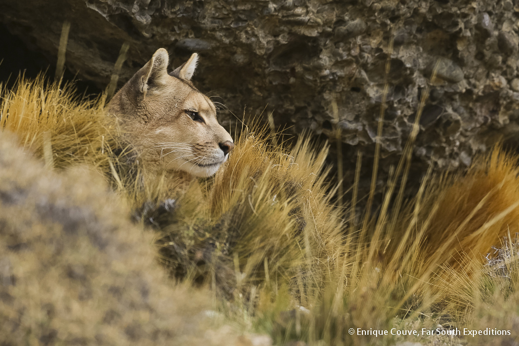 Puma, Photo © Enrique Couve, Far South Expeditions