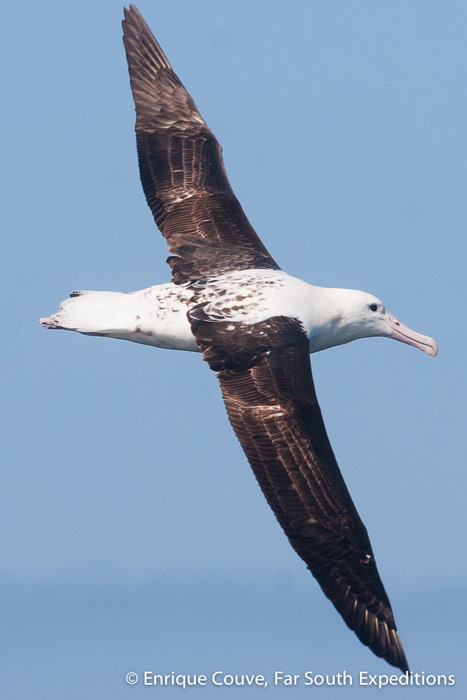 Northern Royal Albatross © Enrique Couve, Far South Expeditions