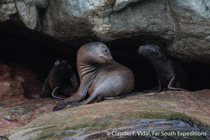 South America Sea Lion - mother and pup (Ottaria flavescens)), Magellan Straits, Chile © Claudio F. Vidal, Far South Exp