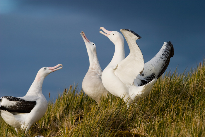 Wandering Albatross, South Georgia Island © Ted Cheeseman, Cheesemans Ecology Safaris