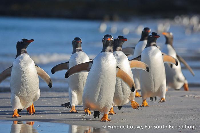 Gentoo Penguins (Pygoscelis papua), Sea Lion Island © Enrique Couve, Far South Expeditions