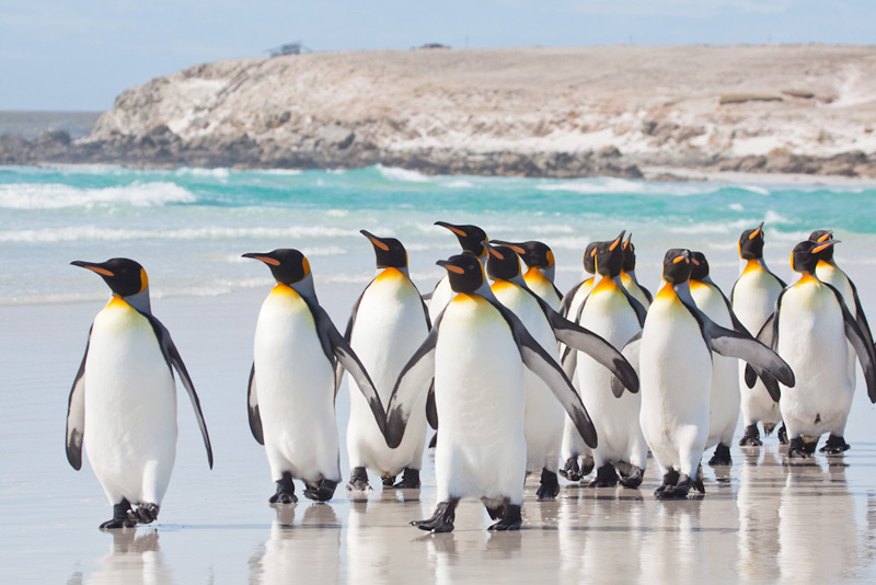 King Penguins (Aptenodytes patagonicus), Volunteer Point, Falkland Islands © Enrique Couve, Far South Expeditions