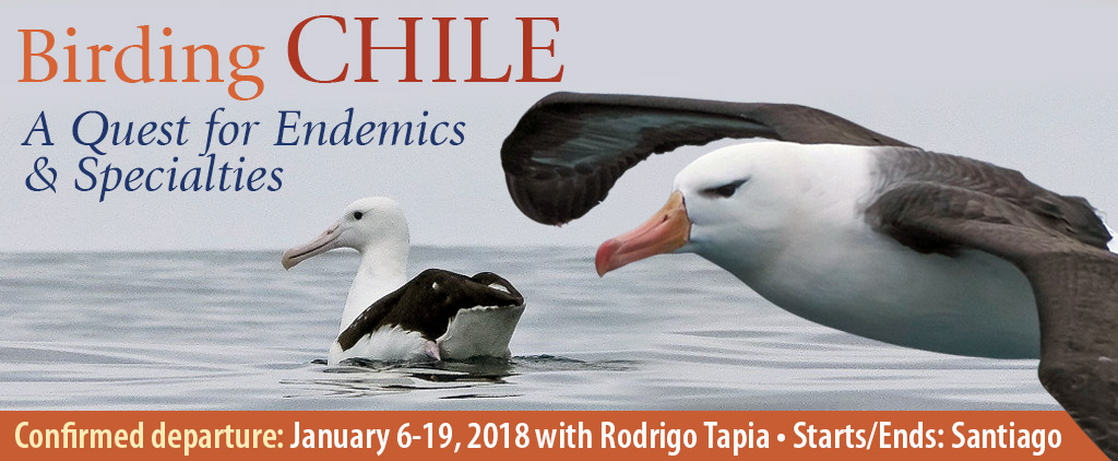 Birding Chile - A Quest for Endemics & Specialties