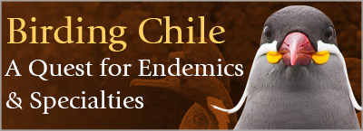 Birding Chile, A Quest for Endemics and Specialties