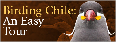 Birding Chile, An Easy Tour
