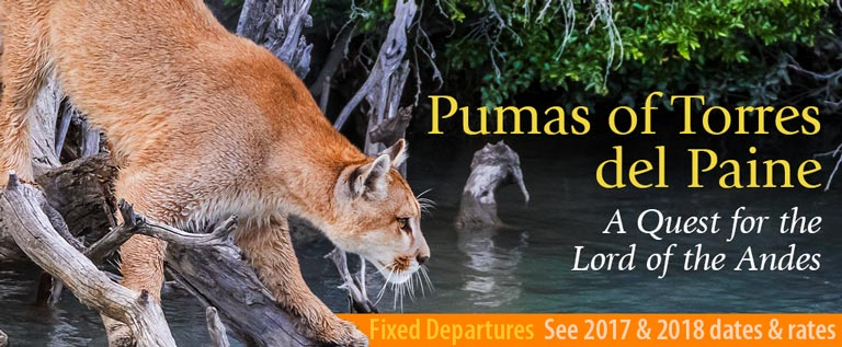 Pumas of Torres del Paine, A Quest for the Lord of the Andes