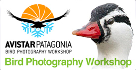 AvistarPatagonia, the Bird Photography Workshop - 28 October to 3 November 2013, Puerto Natales, Chile