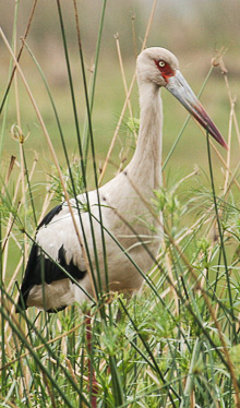 Maguari Stork, back in Chile after four decades