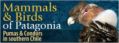 Mammals & Birds of Patagonia, Pumas & Condors in Southern Chile