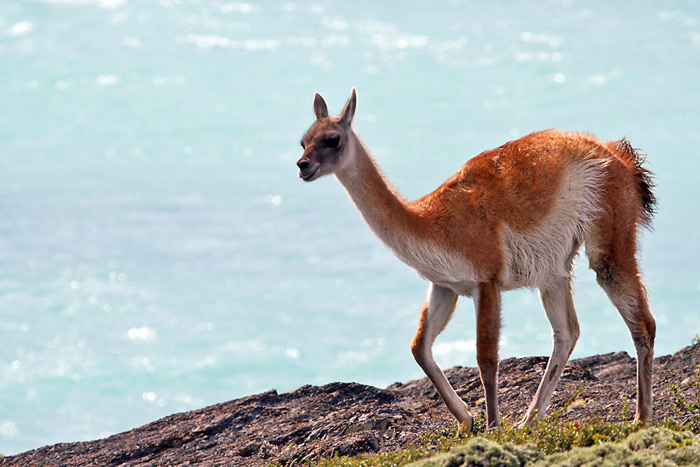 Guanaco, Lama guanicoe, Torres del Paine National Park, Patagonia, Chile © Claudio F. Vidal, Far South Expeditions