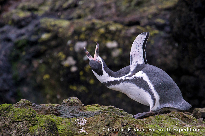 mages/stories/Lake_District_Chiloe/humboldt-penguin-claudio-vidal.jpg