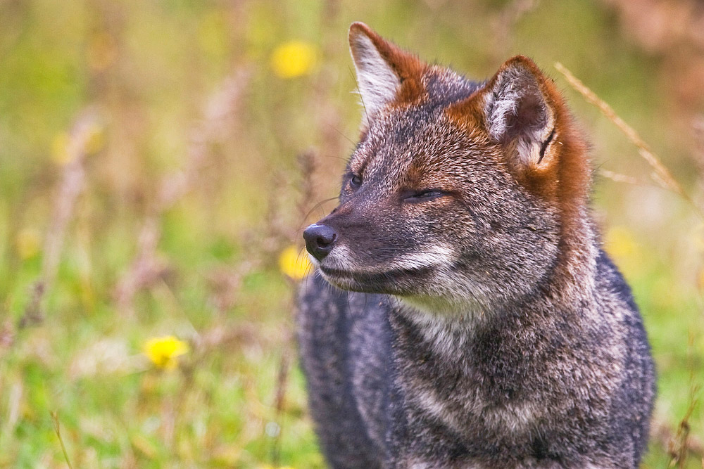 Darwin's Fox, Lycalopex darwini, Tepuhueico, Chiloe, Chile © Enrique Couve, Far South Expeditions