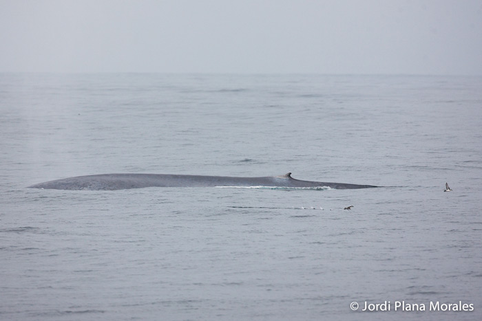 Blue Whale, Balaenoptera musculus, off western Chiloe, Chile © Jordi Plana Morales