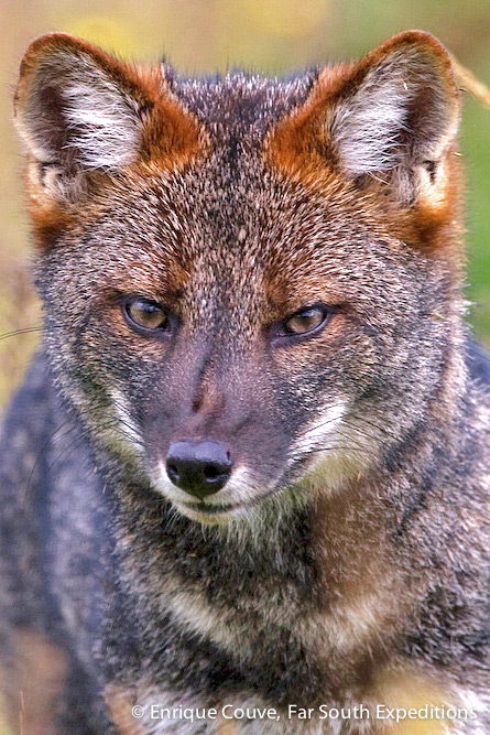Darwin's Fox, Lycalopex fulvipes, Tepuhueico, Chiloe Island, Chile © Enrique Couve, Far South Expeditions