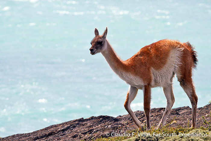 Guanaco, Lama guanicoe, Torres del Paine NP, Patagonia, Chile © Claudio F. Vidal, Far South Expeditions
