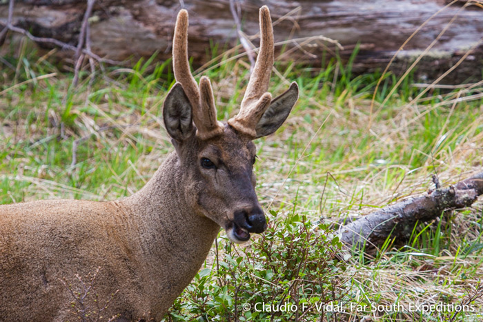 Huemul or Andean Deer, Hippocamelus bisulcus, Torres del Paine, Patagonia, Chile © Claudio F. Vidal, Far South Expeditions