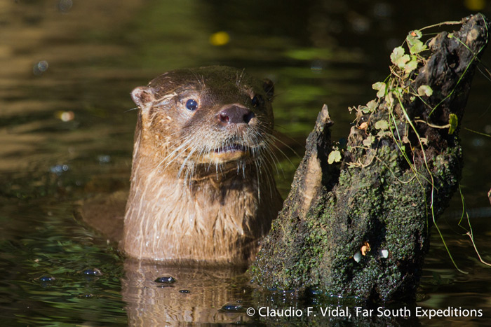 Huillin or Southern River Otter, Lontra provocax, Chiloe, Chile © Claudio F. Vidal, Far South Expeditions