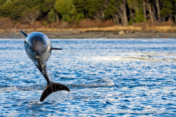 Peale's Dolphin, Lagenorhynchus australis, Patagonia, Chile © Claudio F. Vidal, Far South Expeditions