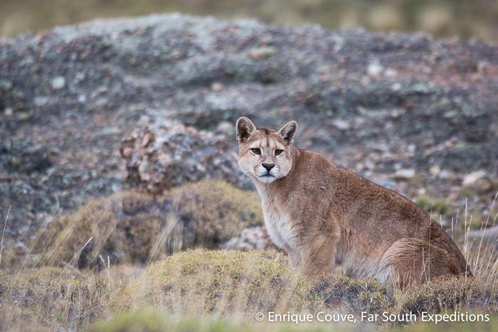 Puma, Puma concolor patagonica, Torres del Paine, Patagonia, Chile © Enrique Couve, Far South Expeditions
