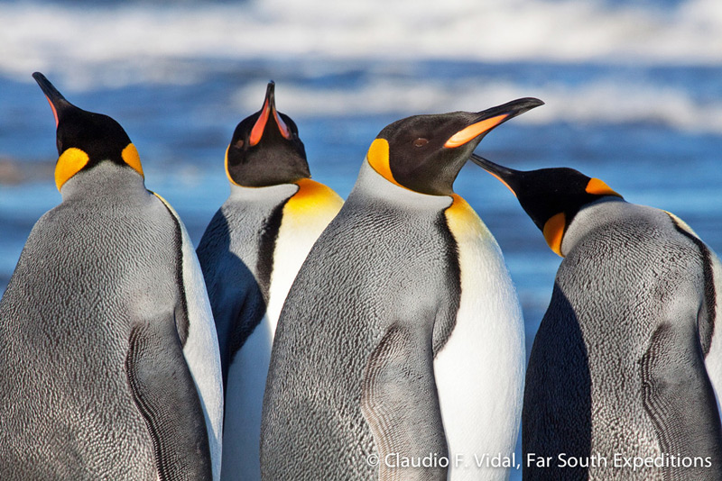 King Penguins (Aptenodytes patagonica), Useless Bay, Tierra del Fuego, Chile © Claudio F. Vidal, Far South Expeditions