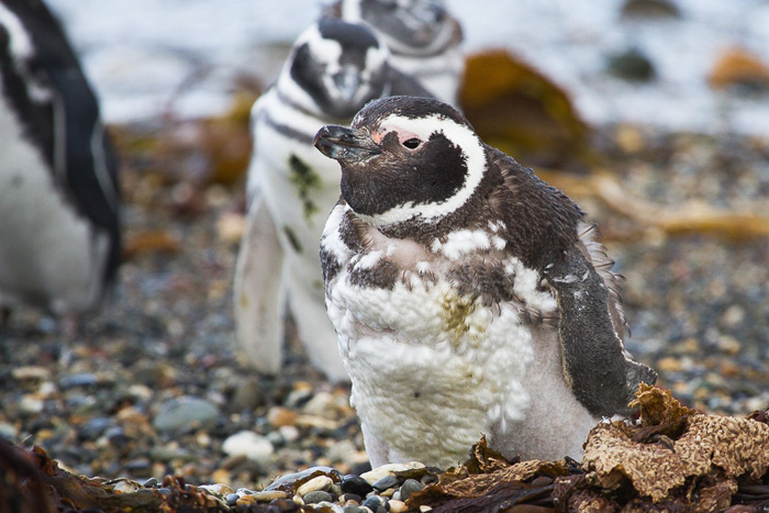 Moulting Magellanic penguins, Spheniscus magellanicus, Otway Sound, Chile © Claudio F. Vidal, Far South Expeditions