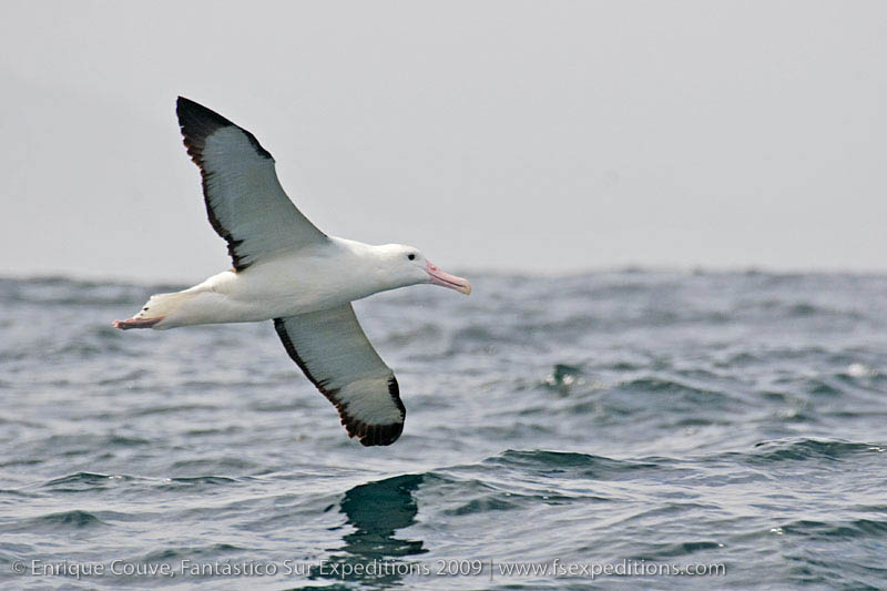 Northern Royal Albatros off Valparaiso, central Chile by Enrique Couve, Far South Expeditions - www.farsouthexpeditions.com