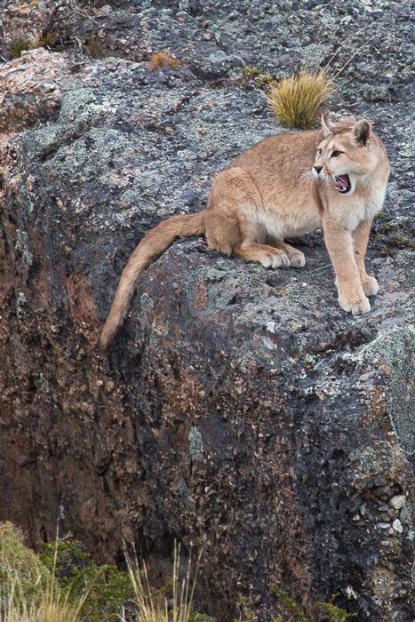 Puma (Puma concolor patagonica) © Enrique Couve, Far South Exp