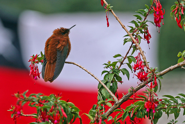 The endemic Juan Fernandez Firecrown (Sephanoides fernandensis), one of the world's most threatened birds is possible to see in the woodlands and gardens around San Juan Bautista, the only settlement of this remote archipelago © Enrique Couve, Far South Expeditions