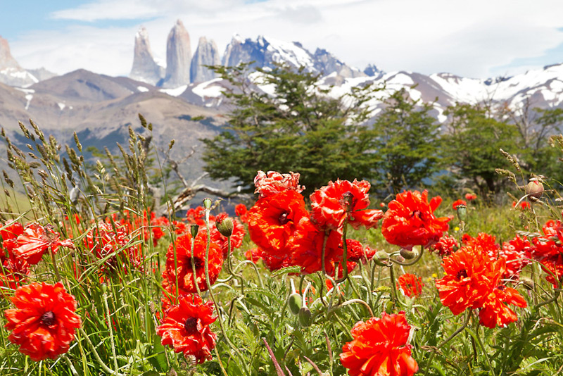 Poppies in bloom near Laguna Azul, Torres del Paine National Park, Chilean Patagonia © Claudio F. Vidal, Far South Exp