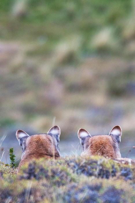 Pumas of Torres del Paine © Enrique Couve, Far South Exp