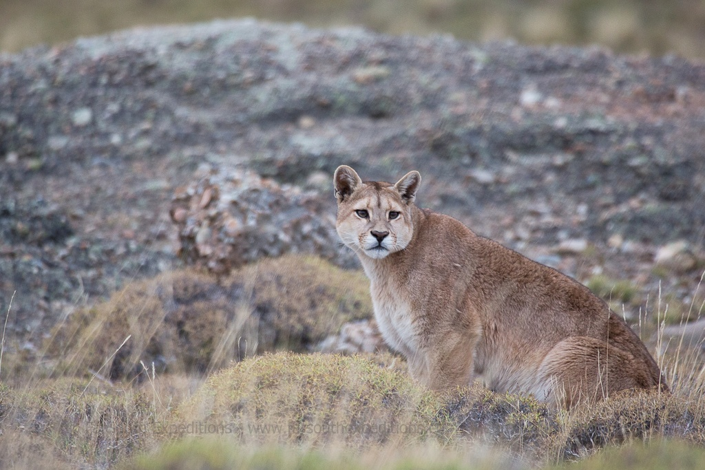Puma, Puma concolor patagonia - Torres del Paine National Park, Patagonia, Chile © Enrique Couve, Far South Expeditions